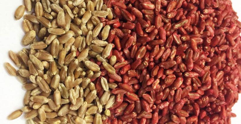 Tratamiento con Zinc y fosfitos para semillas de trigo.